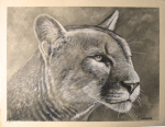 Cougar/ Charcaol drawing on toned paper